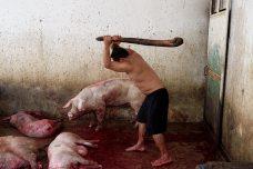 Azote de cabezas de cerdo para su atontamiento.