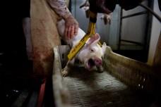 Electrocución de un cerdo.