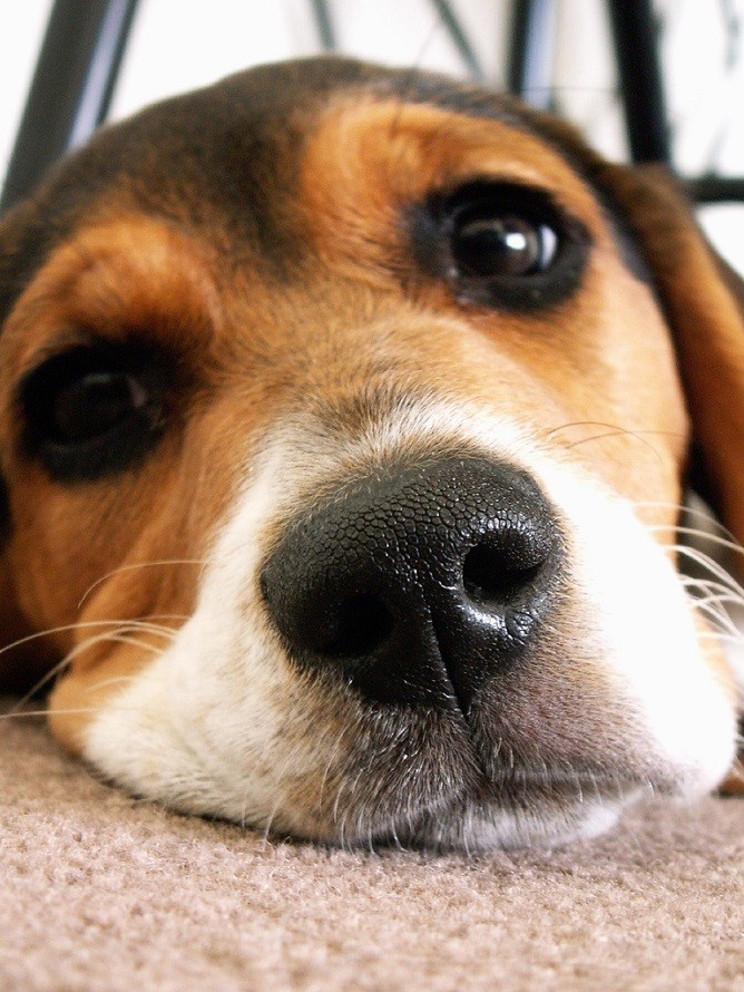 Cute Puppies Image Wallpaper 20 Things All Beagle Owners Must Never Forget The Last