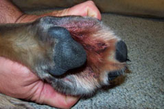 Image result for frost bite in dogs