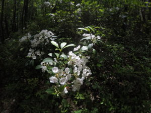 Mt. Laurel in bloom