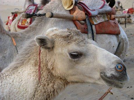 Dunhuang - pustynia, wielbłądy ibuddyjskie groty 32