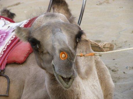 Dunhuang - pustynia, wielbłądy ibuddyjskie groty 34