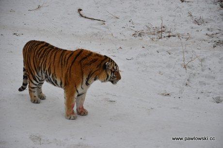 Tygrysy syberyjskie