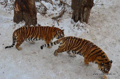 Rezerwat tygrysów syberyjskich w Harbin 1