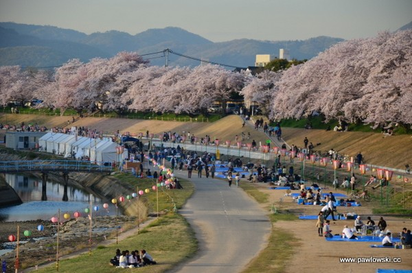Sakura - kwitnące wiśnie wJaponii
