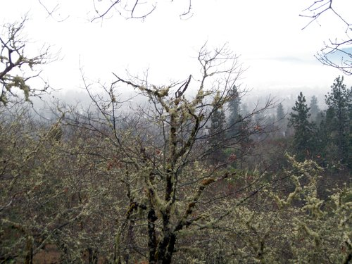 Mossy trees and low fog along our morning walk