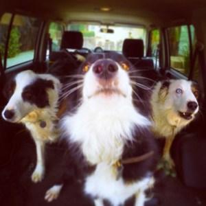 Three Border Collies ready to go for a dog run