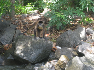 Monkey on small island