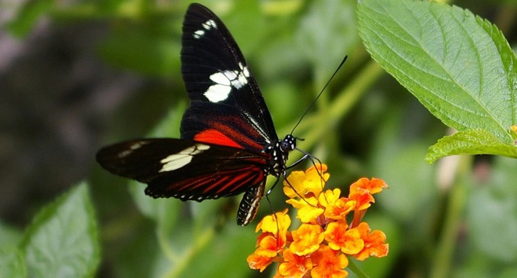 The Costa Rican Butterfly