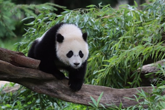 FedEx transports giant panda from United States to China