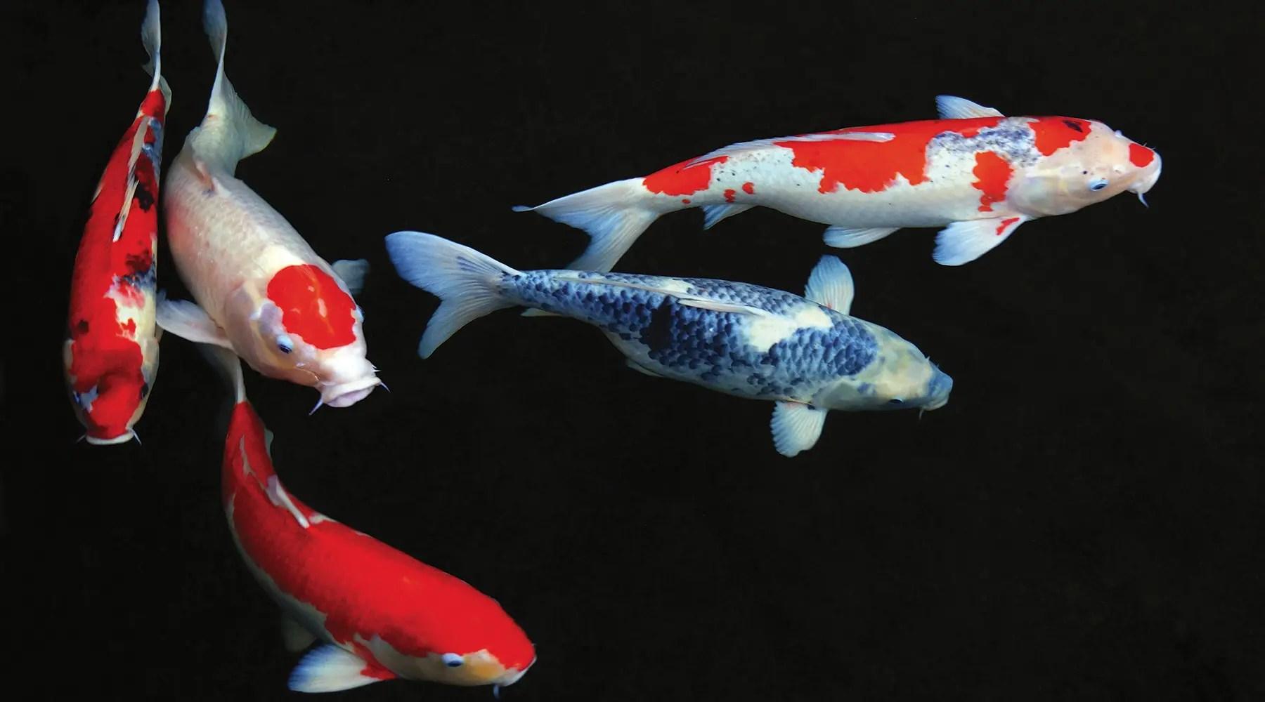 poisson bassin koi bassin naturel