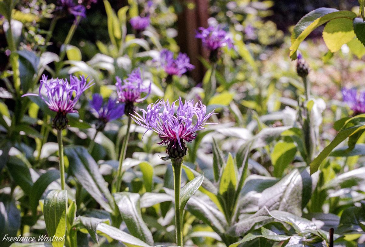 Centaurea montana - perennial cornflower