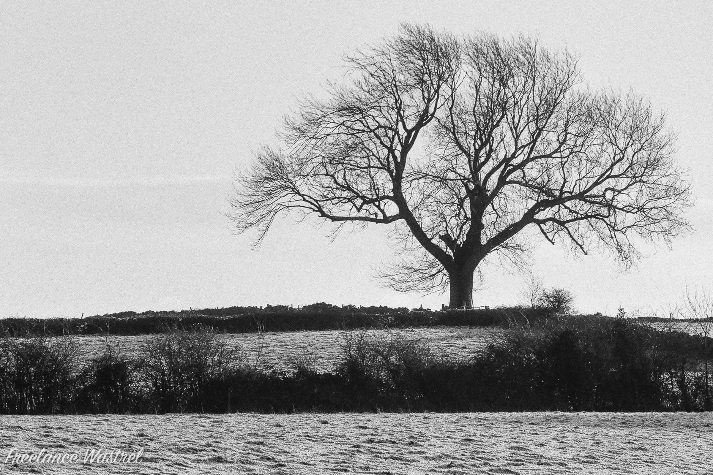 Lone tree, December 2017