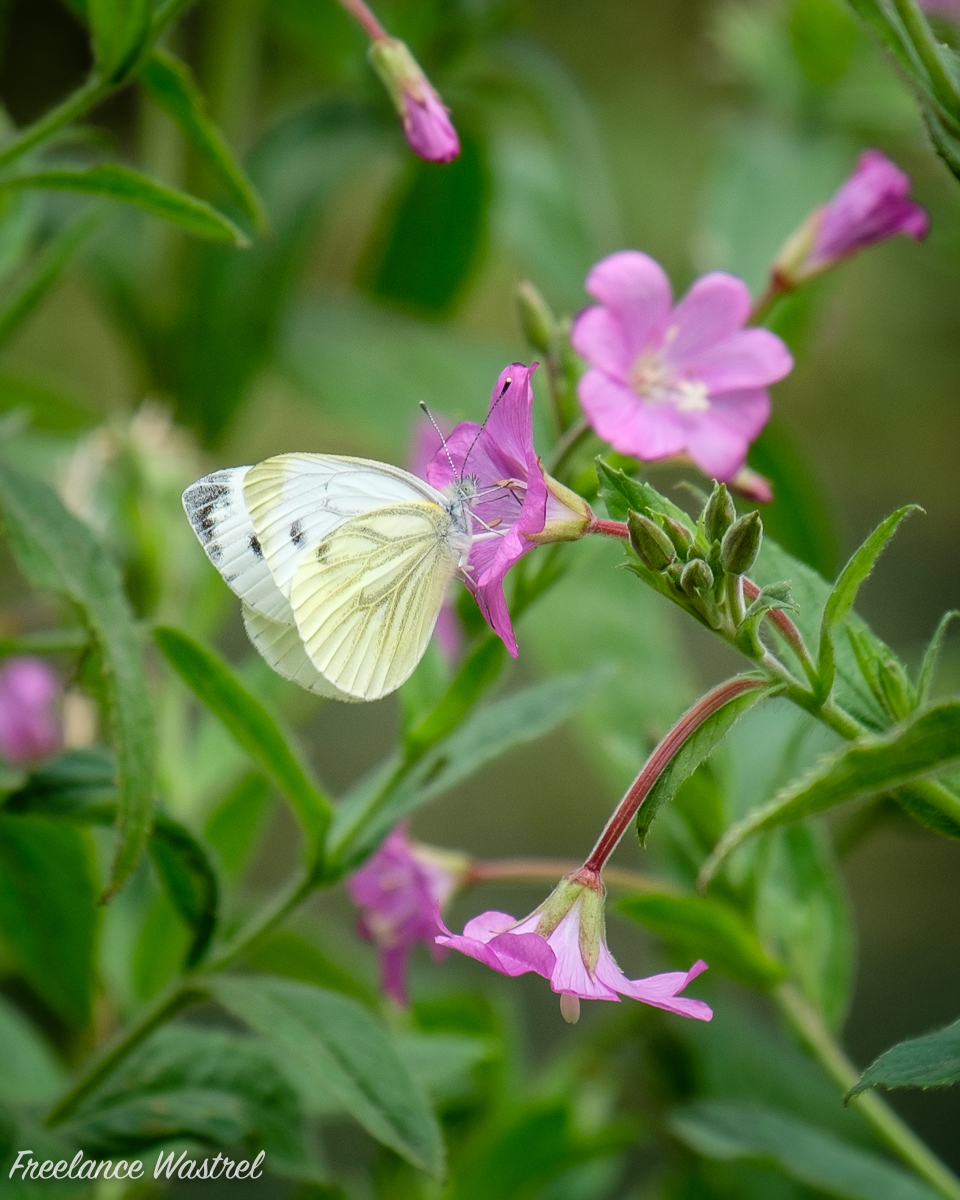 Large White butterfly (Pieris brassicae)