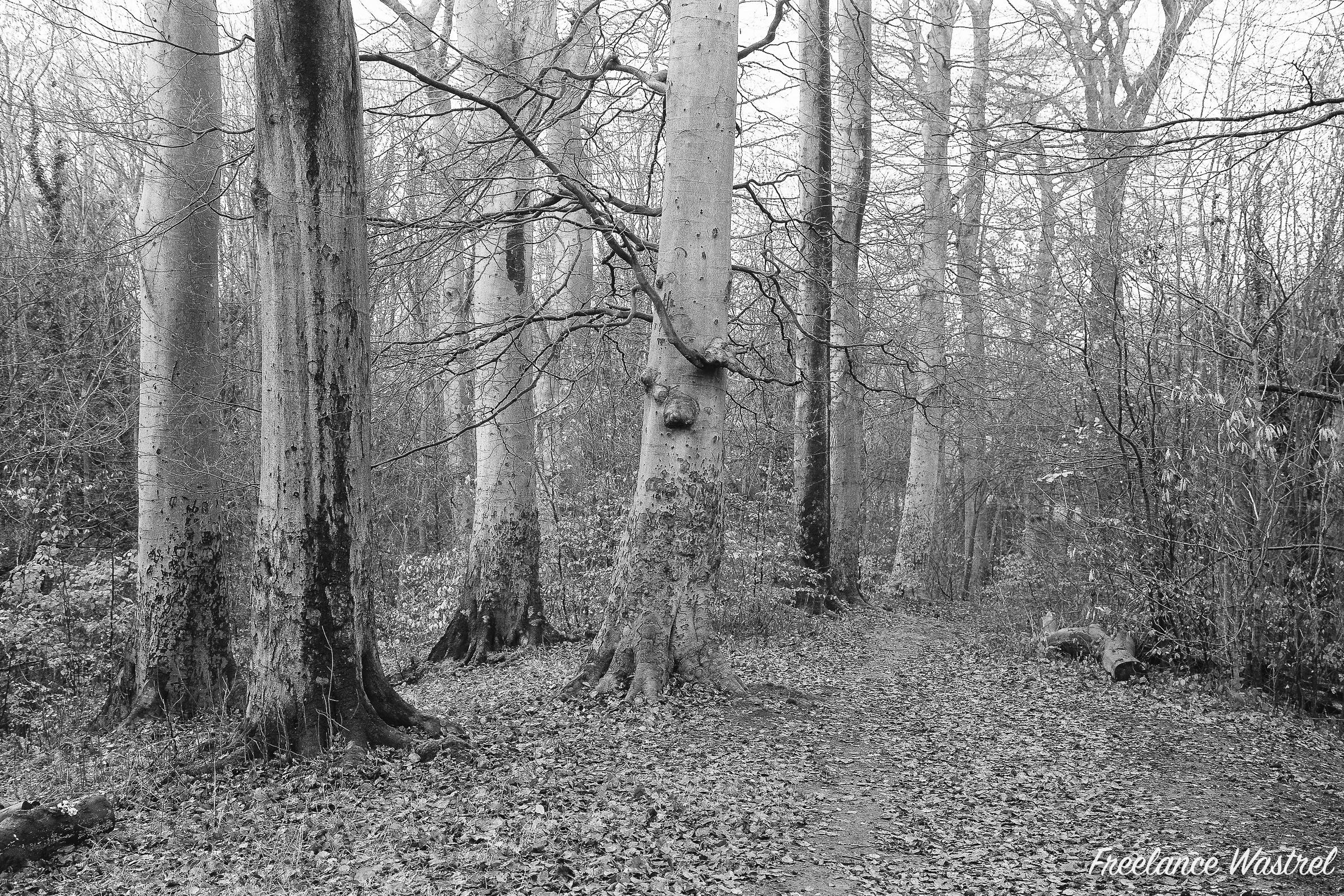 Carr Wood, December 2018