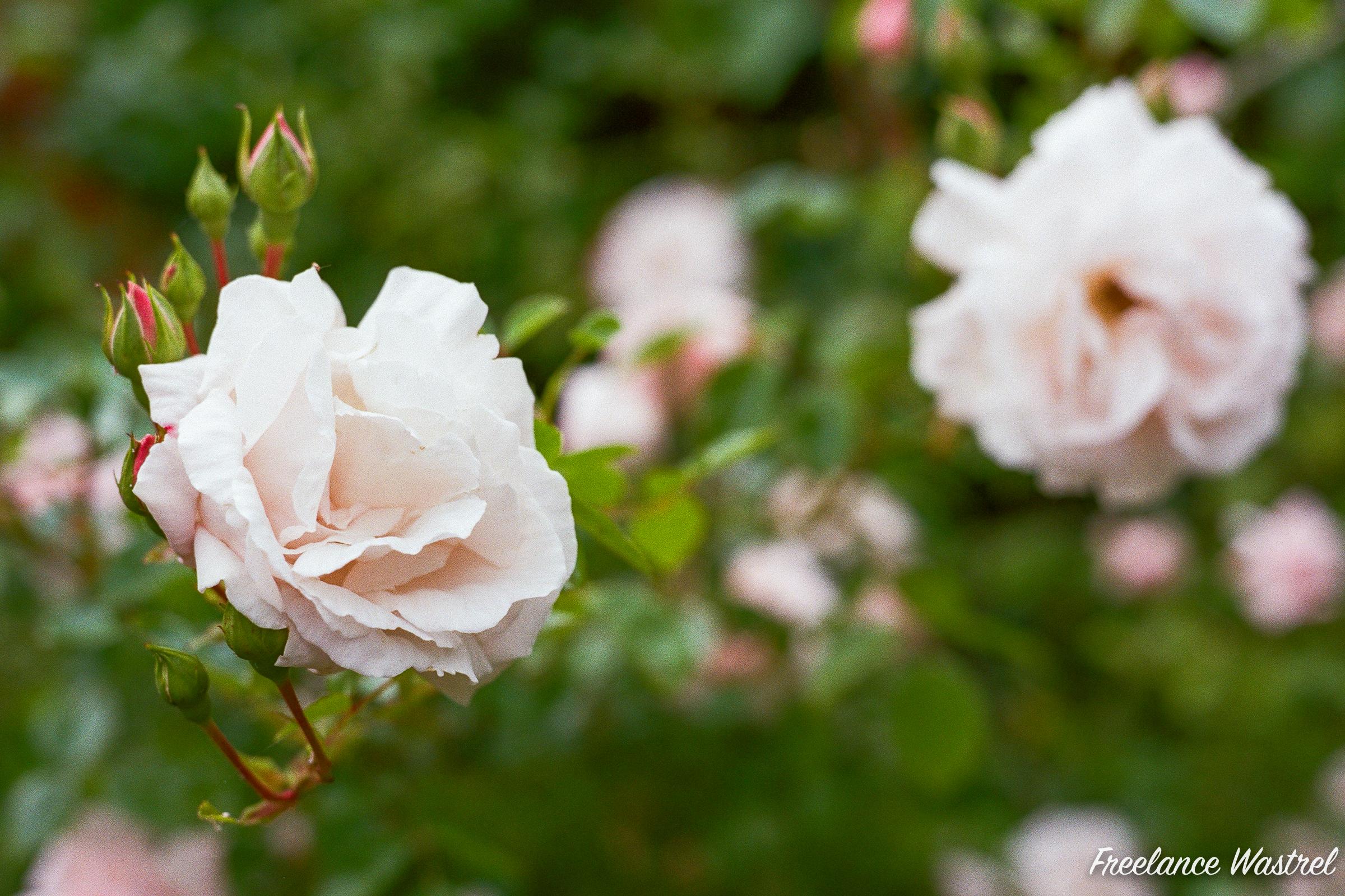 Roses, June 2019