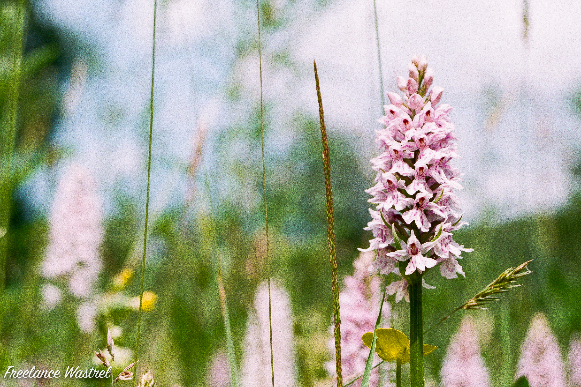 Common fragrant-orchid (Gymnadenia conopsea), June 2019