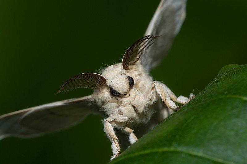 Butterfly Forum Silkworm Moth