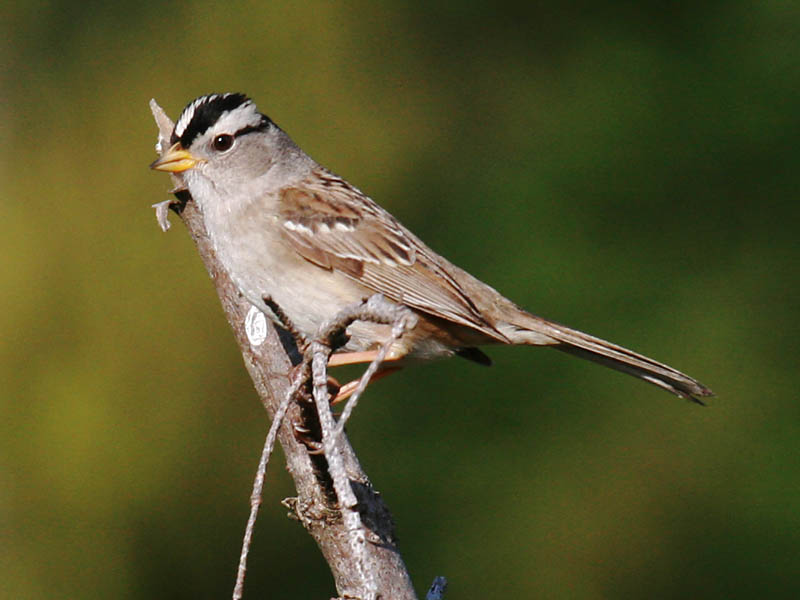 A tale of two Whitecrowned Sparrows  Pacific NW Birder