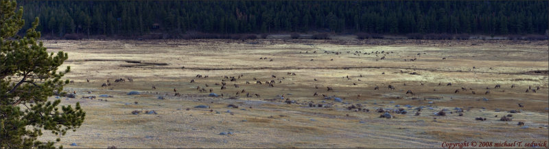 Valley Full of Elk  --Click on this to appreciate the size of this 6-image panoramic shot