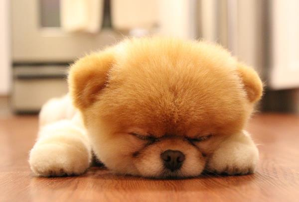 Cute Pomeranian Puppies Wallpaper The Cutest Puppy Pictures Ever