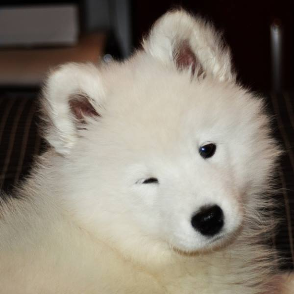Cute Fluffy Dogs Wallpaper The Cutest Samoyed Photos You Ll Ever See