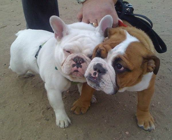 The Cutest Bulldog Pictures Ever