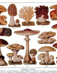 Edible mushrooms chart also nurufunicaasl rh
