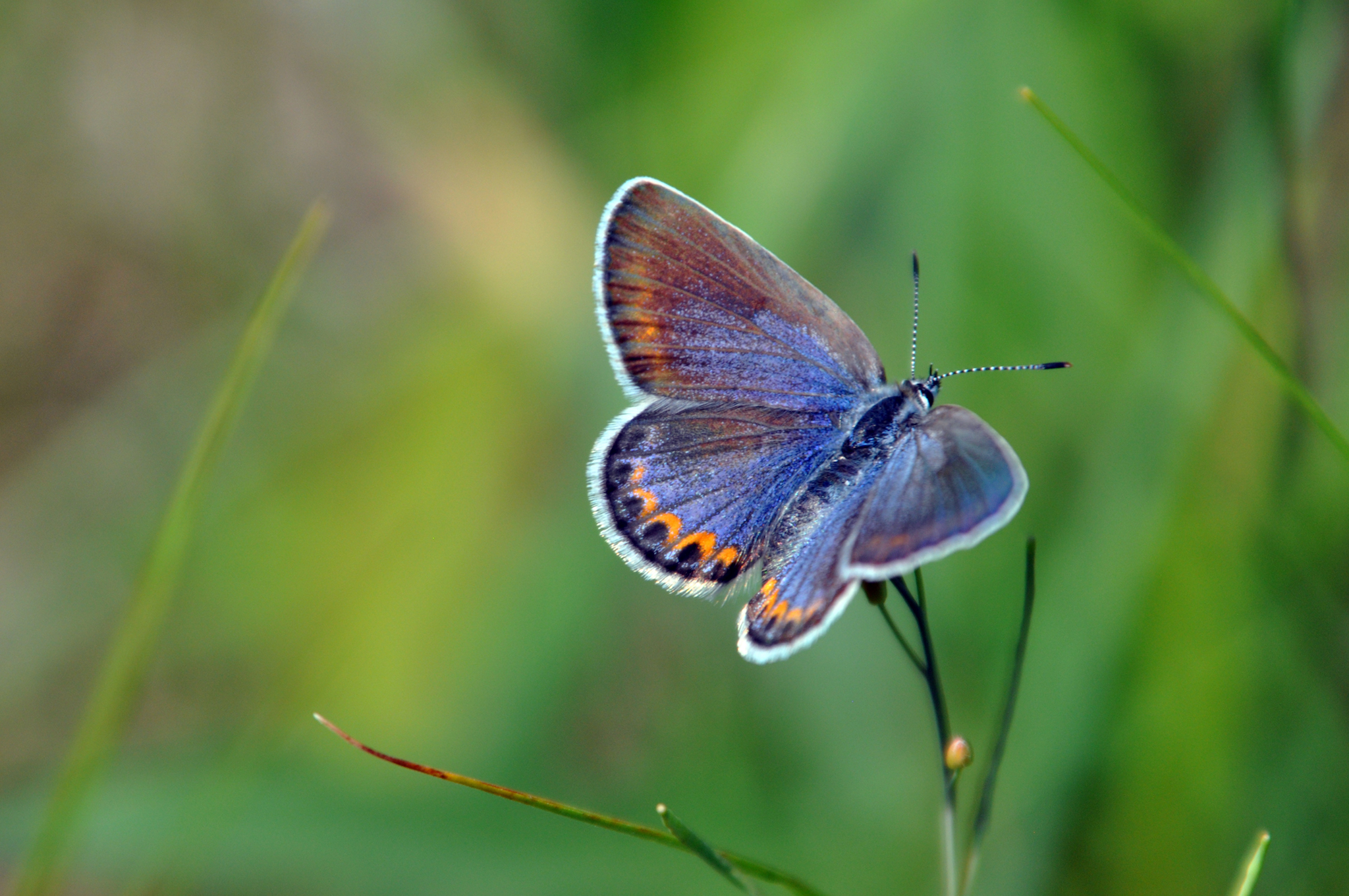 These Super Rare Butterflies Thrive On Army Bases The U S Military Is Helping Them