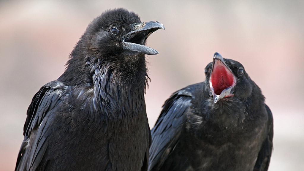 raven-call