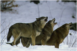 Pack of wolves howling