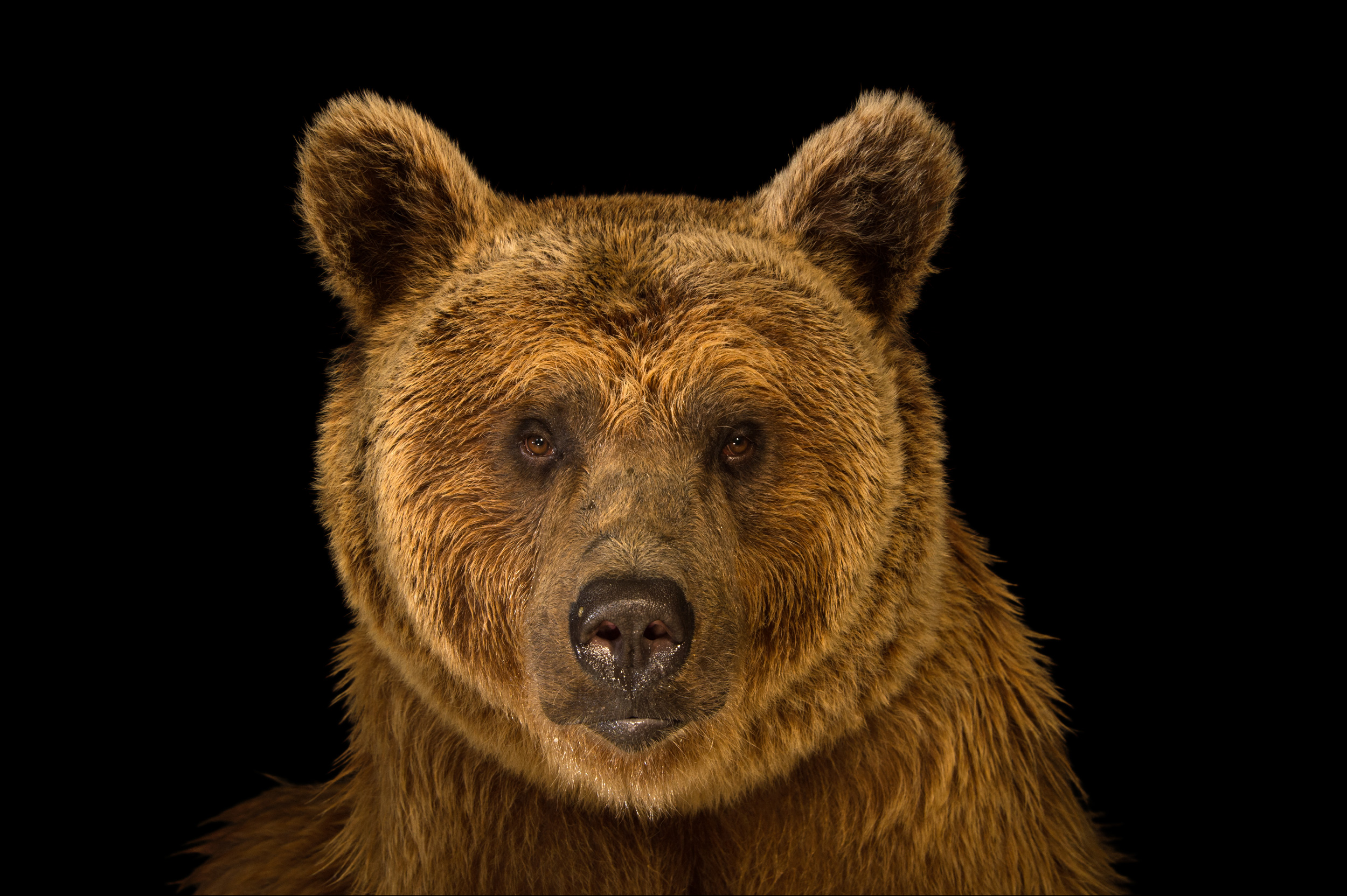 Syrian Brown Bear  RARE Creatures of the Photo Ark