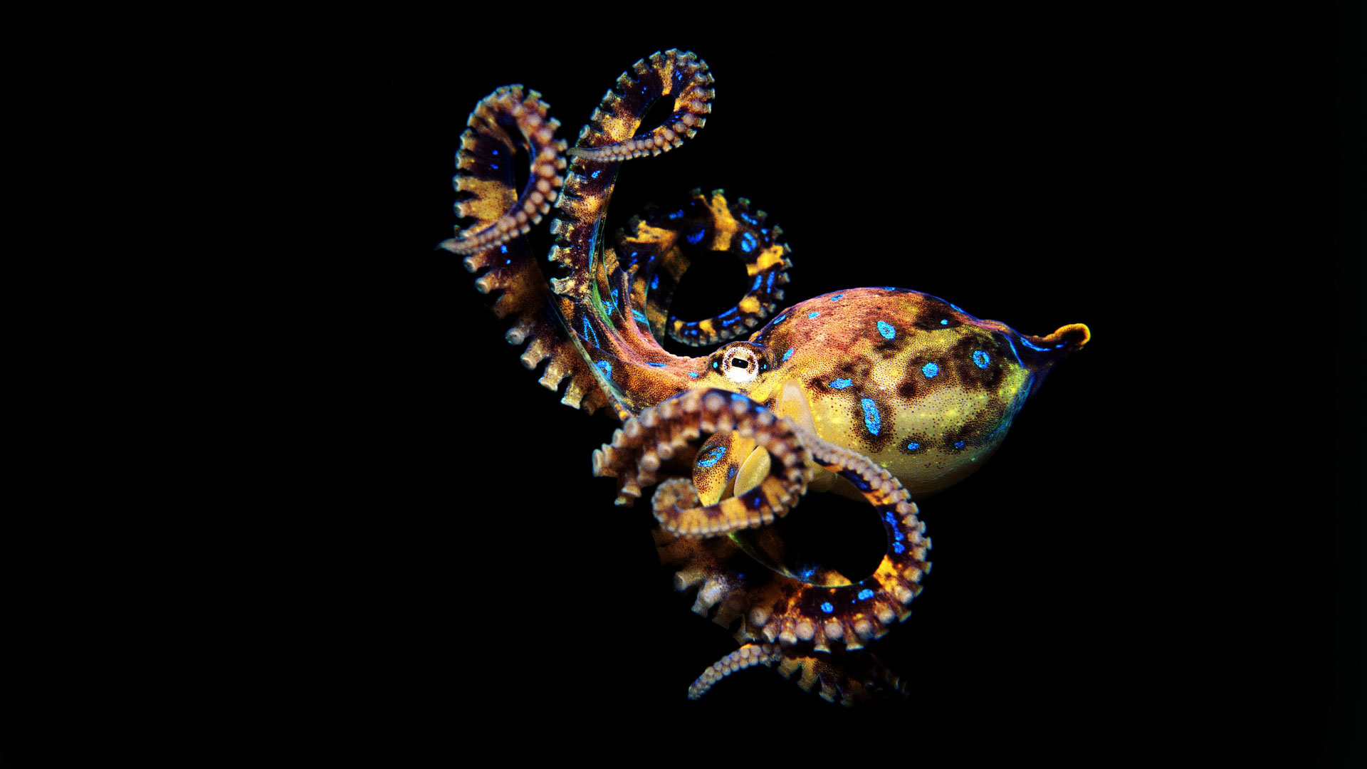 Octopus-BlueRinged