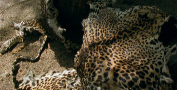Leopards of Yala  Leopard Poaching  Nature  PBS