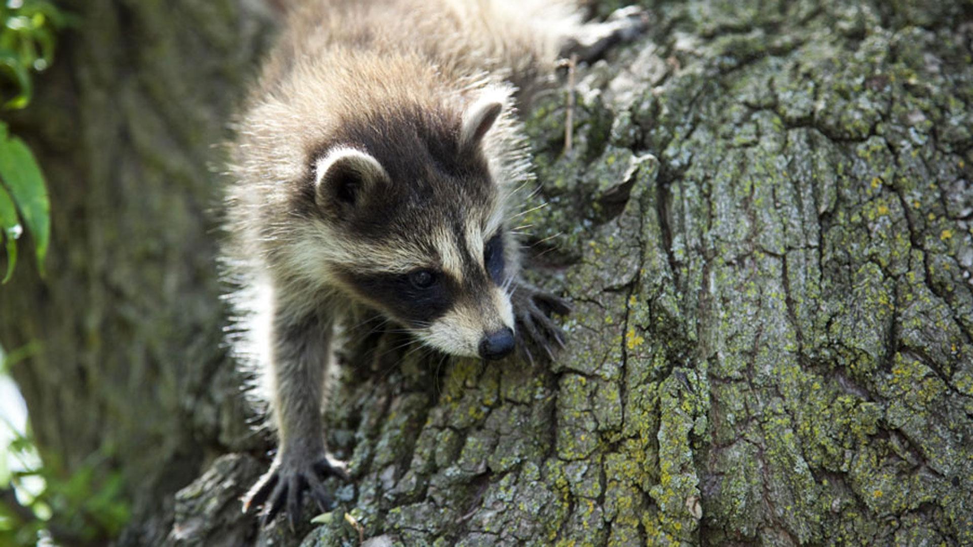 Cute White Baby Rabbits Wallpapers Raccoon Nation Raccoon Fact Sheet Nature Pbs