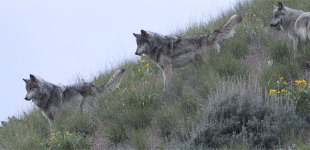 Wolves in Idaho's River of No Return Wilderness Post