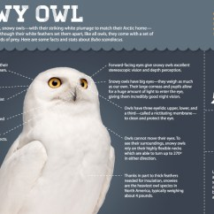 Snowy Owl Adaptations Diagram 92 Ford Ranger Wiring Magic Of The Infographic All About Owls Nature Pbs