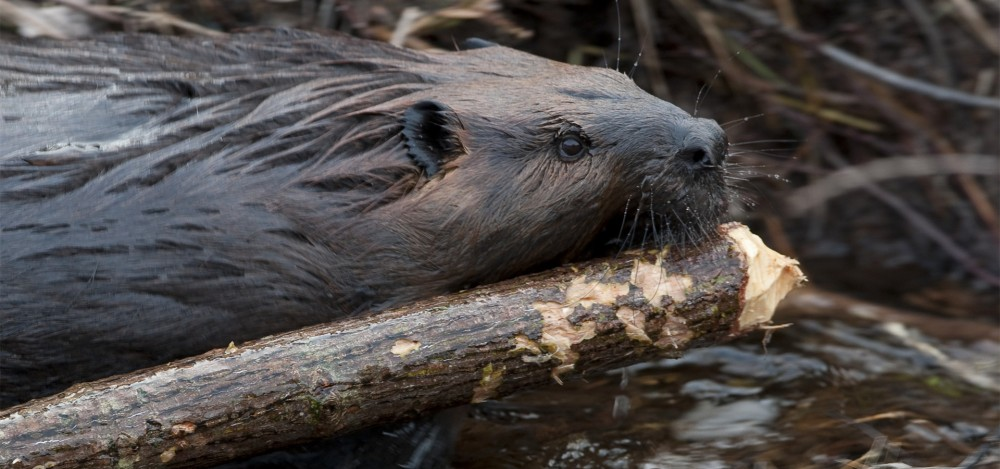 Resultado de imagem para beaver building a dam