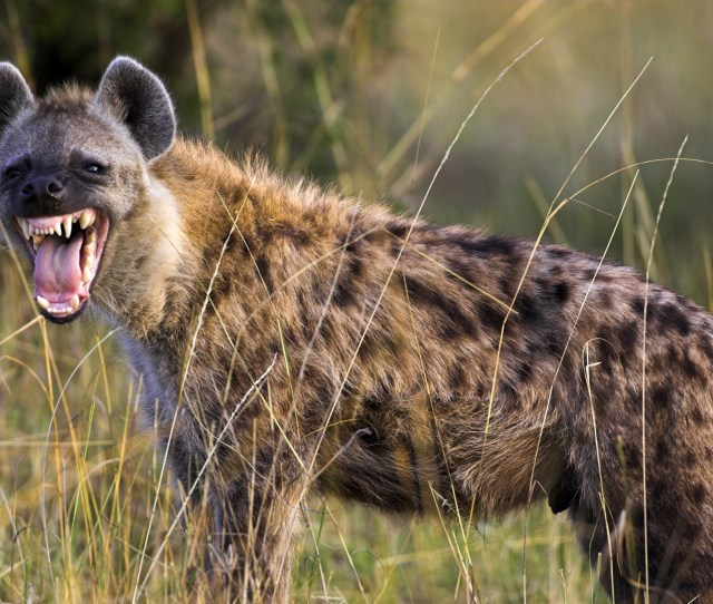 Animal Guide Spotted Hyena