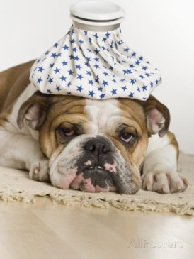 bulldog-with-an-icepack-on-head