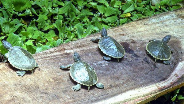 Delhi Police arrests woman smuggling 123 endangered turtles