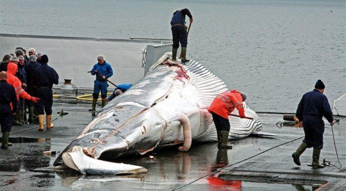 Whale Hunting Season 2015