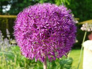 Alliums in Surrey