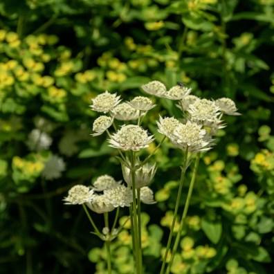 Astrantia and Euphorbia in the Centenary Garden, Exbury, Southampton