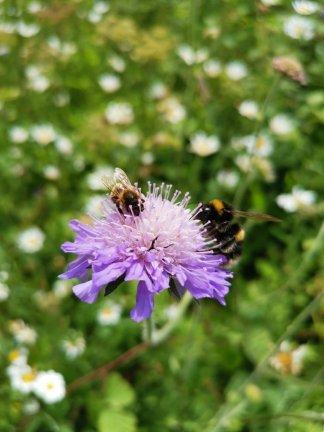 Wildflower turf . Pollinators on scabiosa