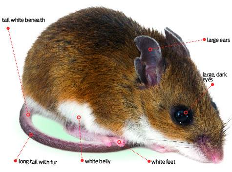 Annual Rodent Control Issue] Deer Mice vs. House Mice - PCT - Pest ...