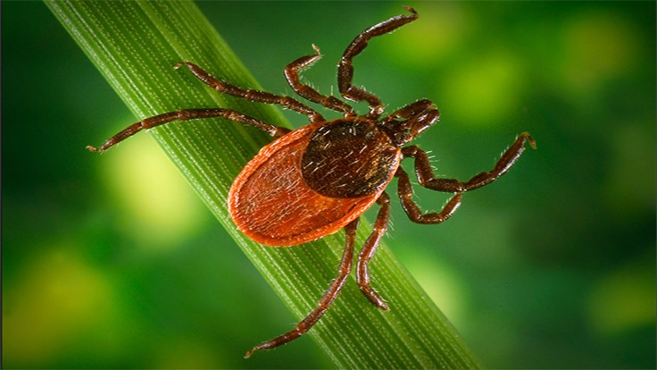 Tick Control Program Reveals High Level of Infection in White-Footed Mice