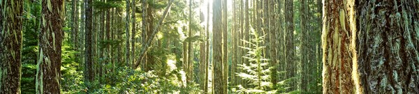 pacific-crest-trail-forest