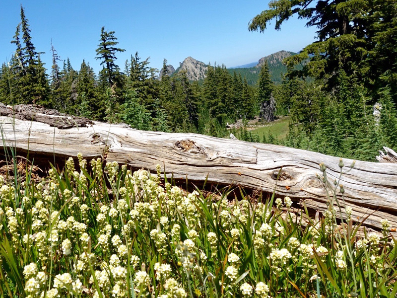 Summer wildflowers in the Diamond Peak Wilderness, by Tami Asars.